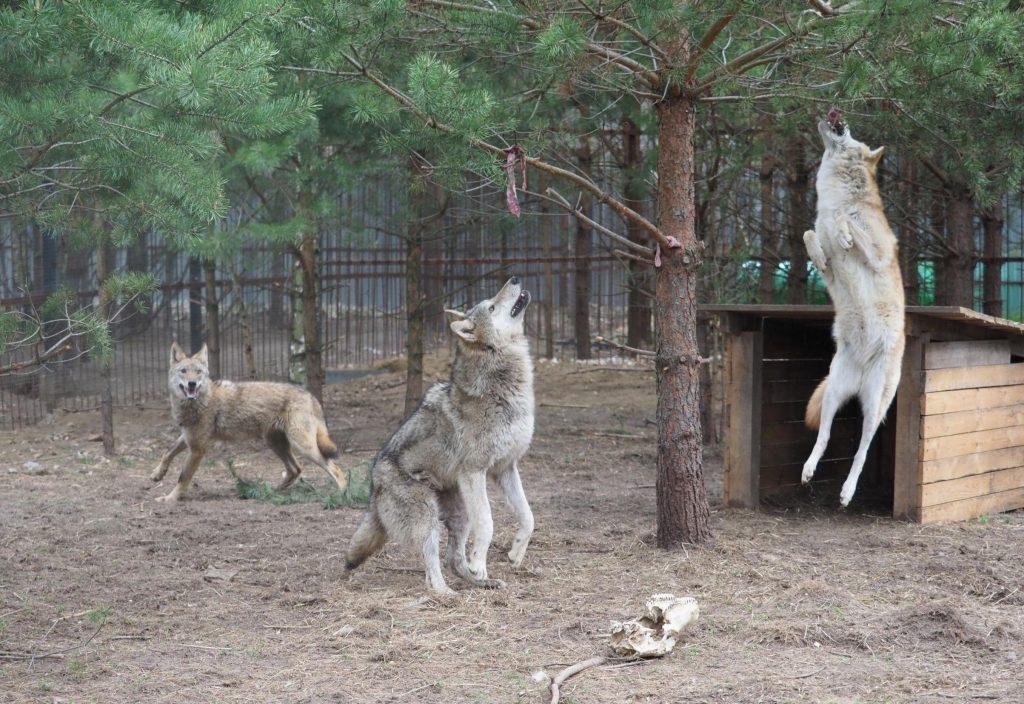 В 2017 году мы с сестрой решили не ждать милостей от общества и природы и создали первый и единственный в России приют для волков